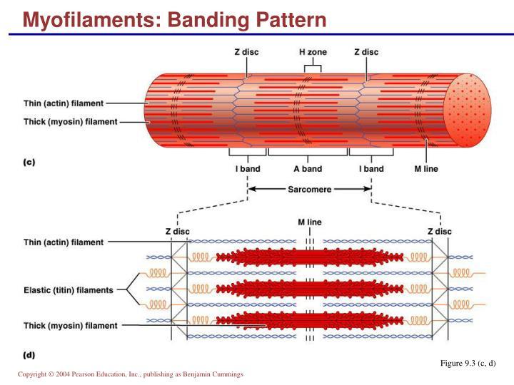 Myofilaments: Banding Pattern