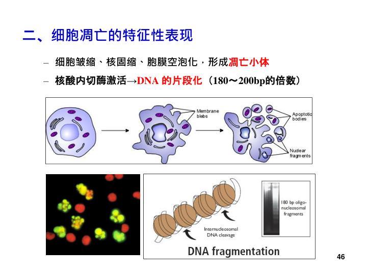 二、细胞凋亡的特征性表现