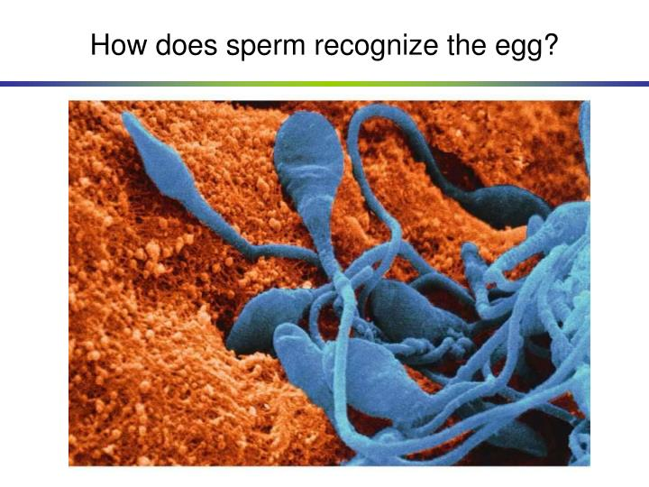 How does sperm recognize the egg?