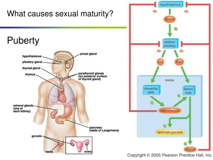 What causes sexual maturity?