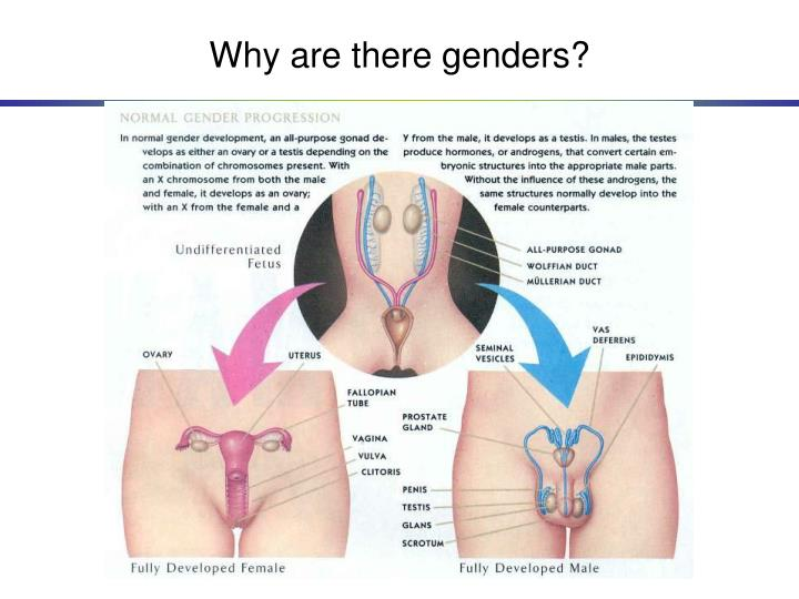 Why are there genders?