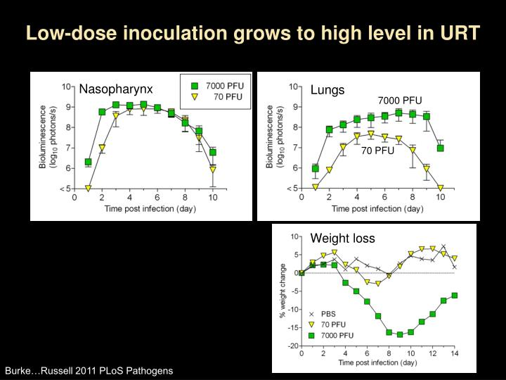 Low-dose inoculation grows to high level in URT