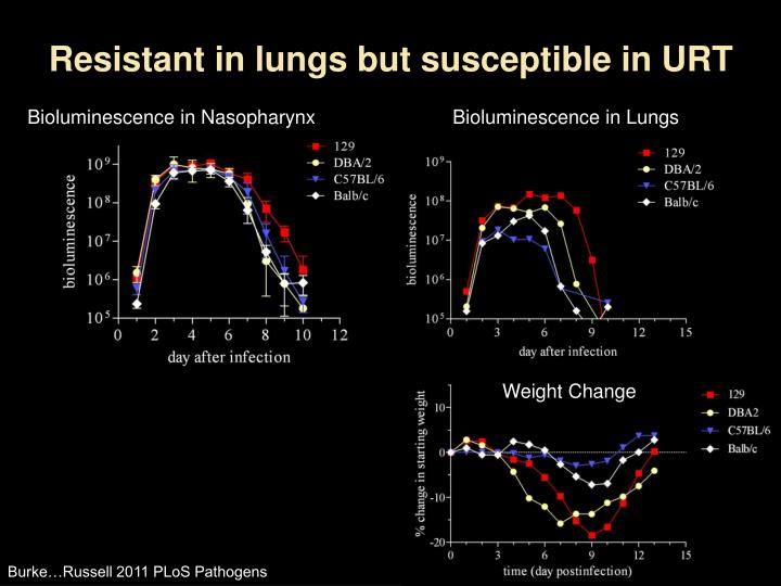 Resistant in lungs but susceptible in URT