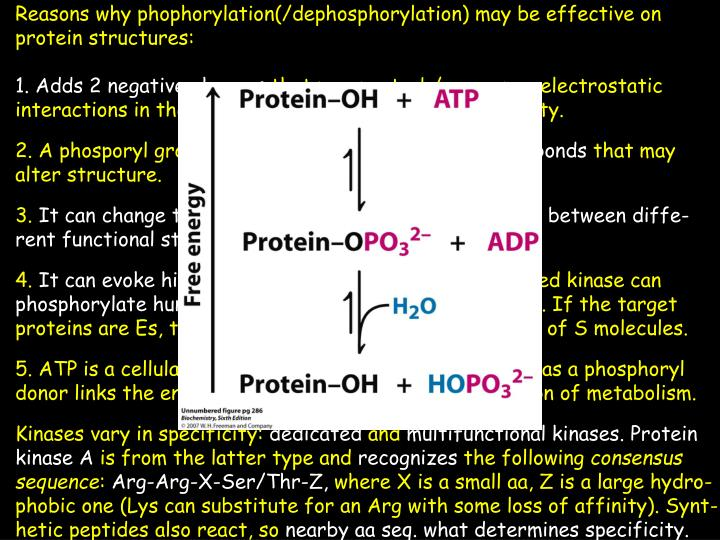 Reasons why phophorylation(/dephosphorylation) may be effective on