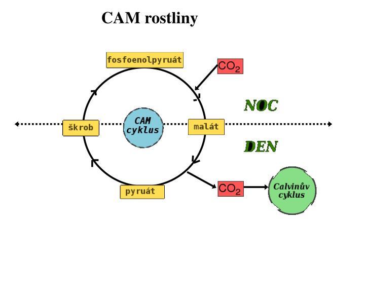 CAM rostliny