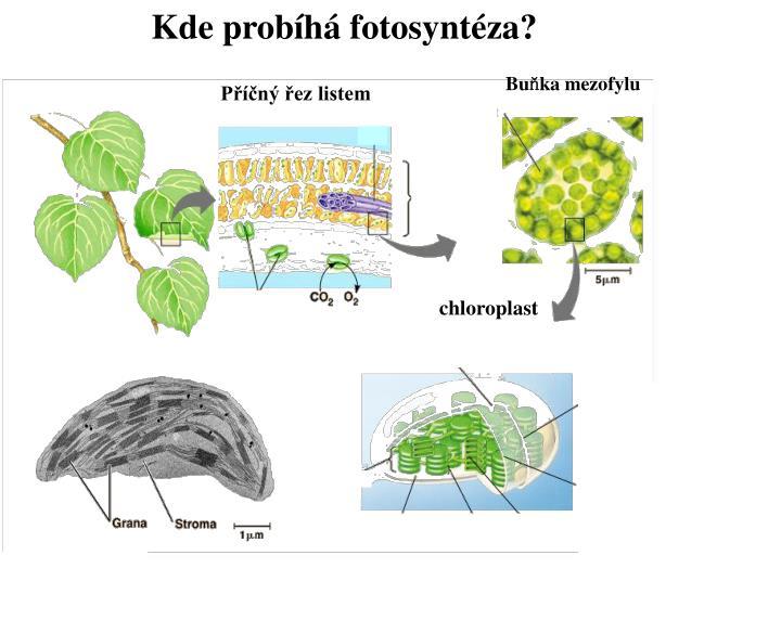 Kde probíhá fotosyntéza?