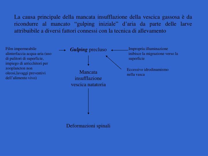 La causa principale della mancata insufflazione della vescica gassosa  da ricondurre al mancato gulping iniziale daria da parte delle larve attribuibile a diversi fattori connessi con la tecnica di allevamento