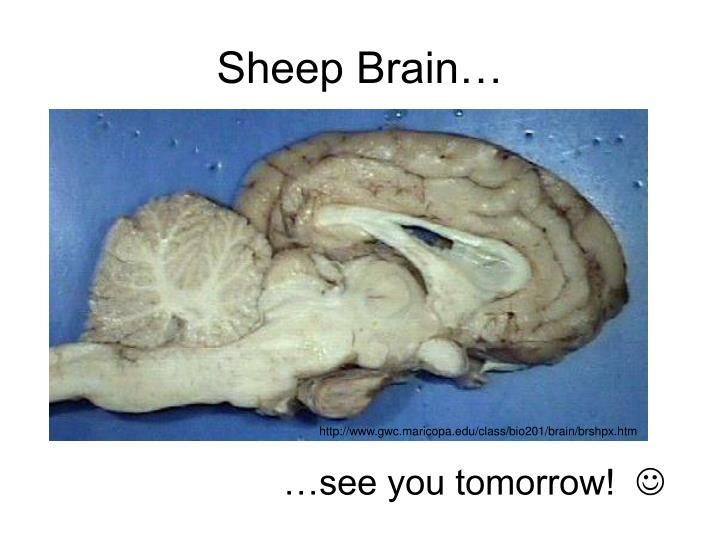 Sheep Brain…