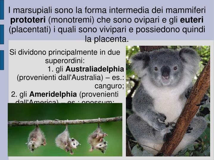 I marsupiali sono la forma intermedia dei mammiferi