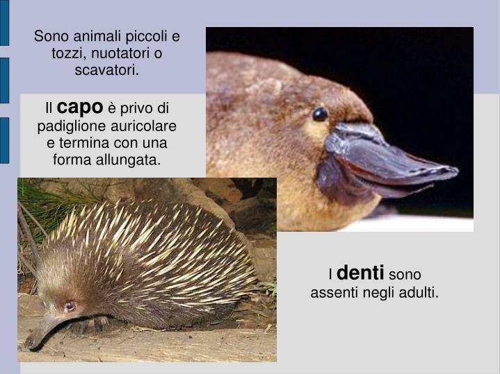Sono animali piccoli e tozzi, nuotatori o scavatori.