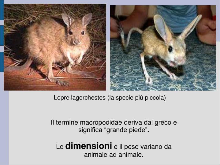 Lepre lagorchestes (la specie più piccola)