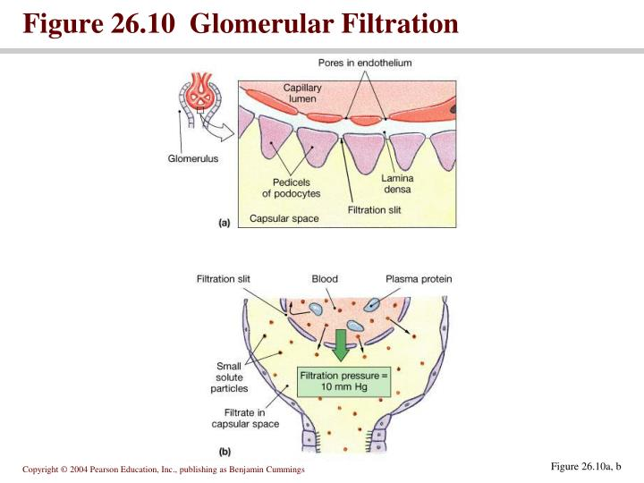 Figure 26.10  Glomerular Filtration