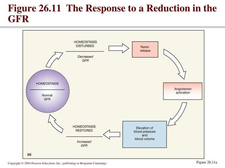 Figure 26.11  The Response to a Reduction in the GFR