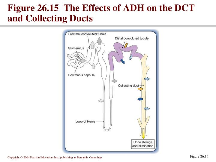 Figure 26.15  The Effects of ADH on the DCT and Collecting Ducts