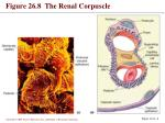 figure 26 8 the renal corpuscle1