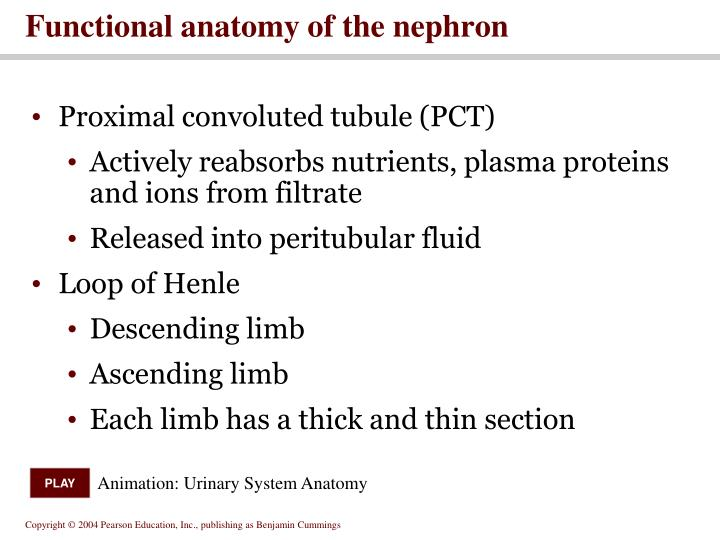 Functional anatomy of the nephron