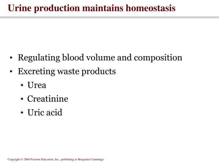 Urine production maintains homeostasis