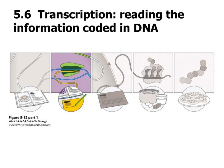5.6  Transcription: reading the information coded in DNA