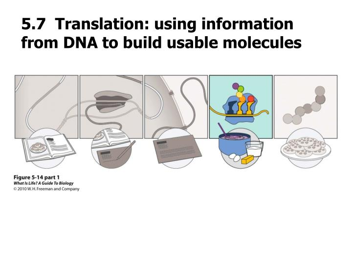 5.7  Translation: using information from DNA to build usable molecules