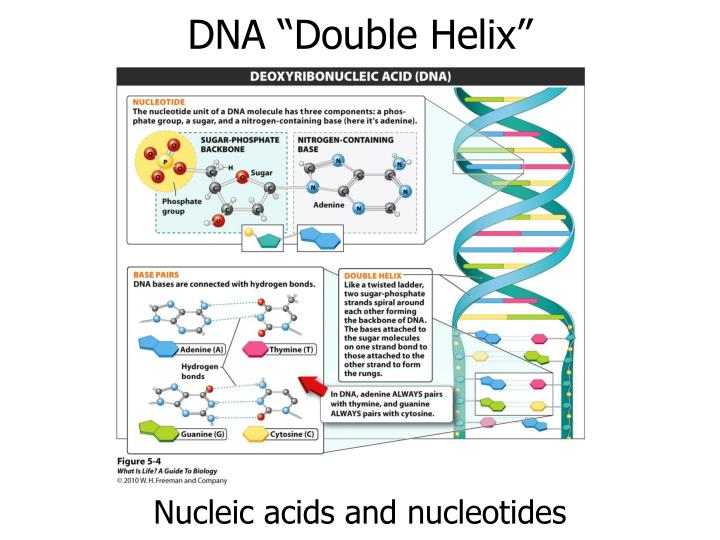 "DNA ""Double Helix"""