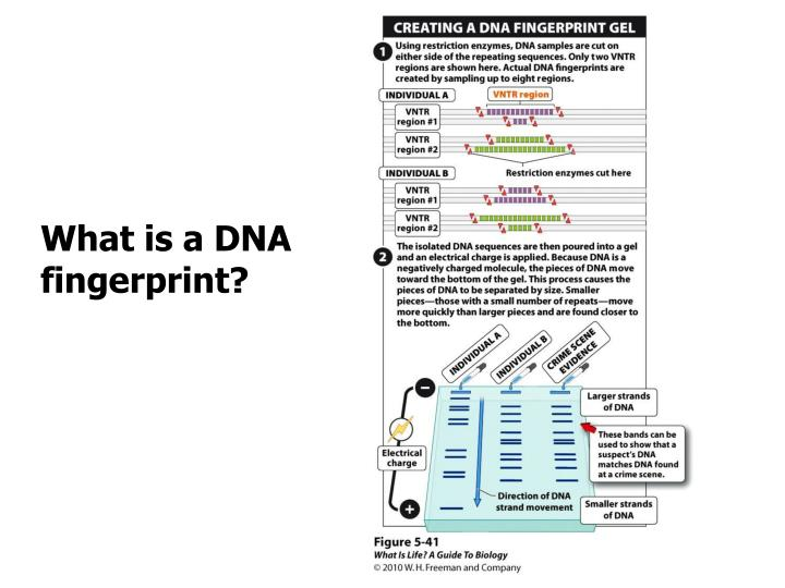 What is a DNA fingerprint?
