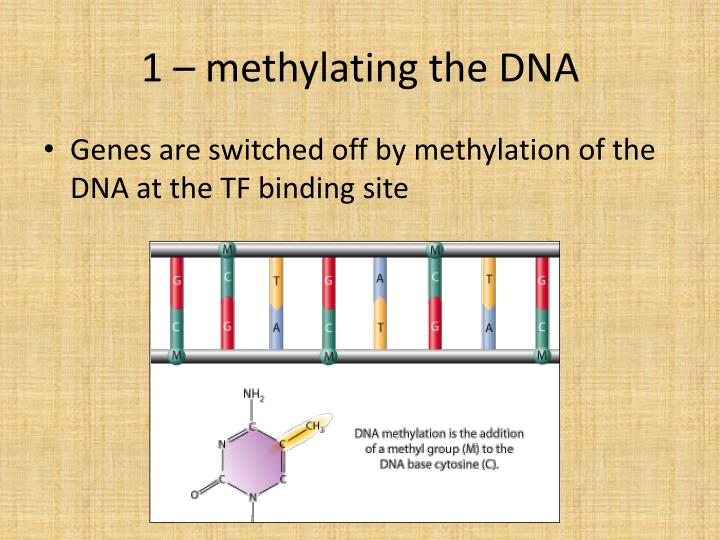 1 – methylating the DNA