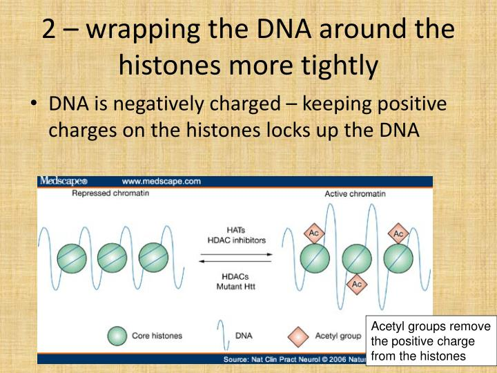 2 – wrapping the DNA around the histones more tightly