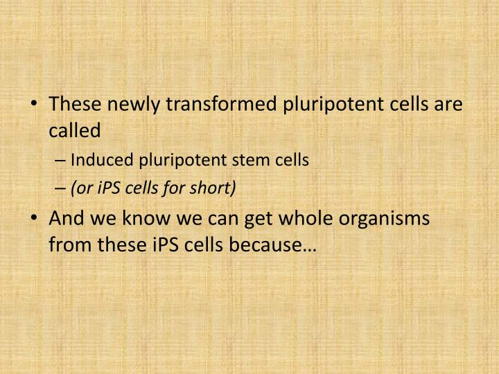 These newly transformed pluripotent cells are called