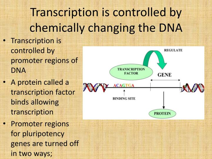 Transcription is controlled by chemically changing the DNA