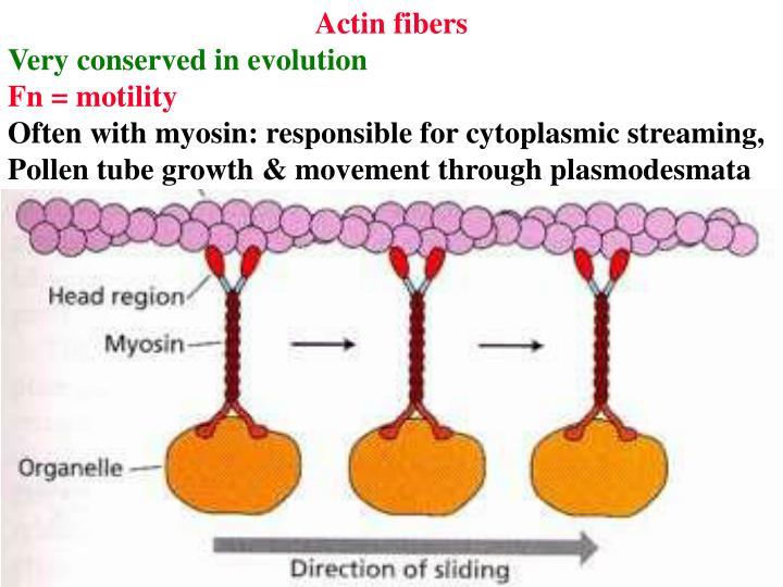 Actin fibers