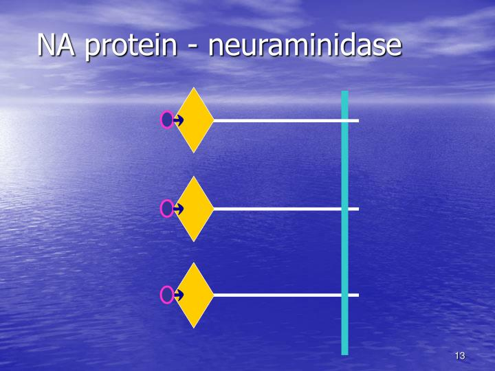 NA protein - neuraminidase
