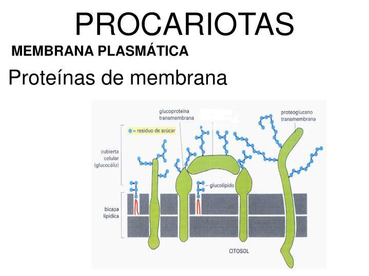 Proteína periférica