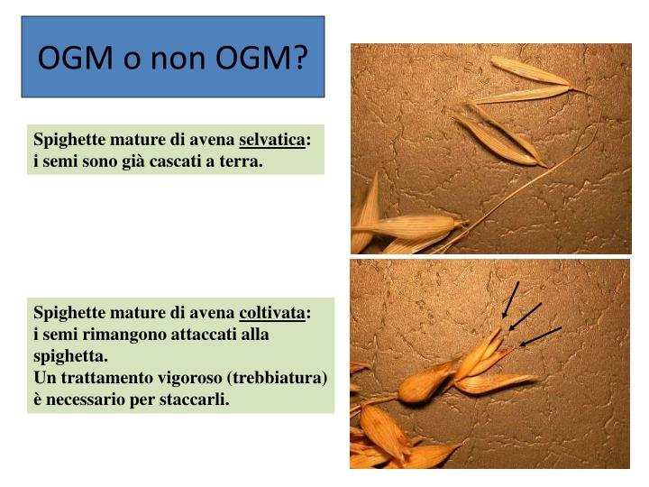 OGM o non OGM?