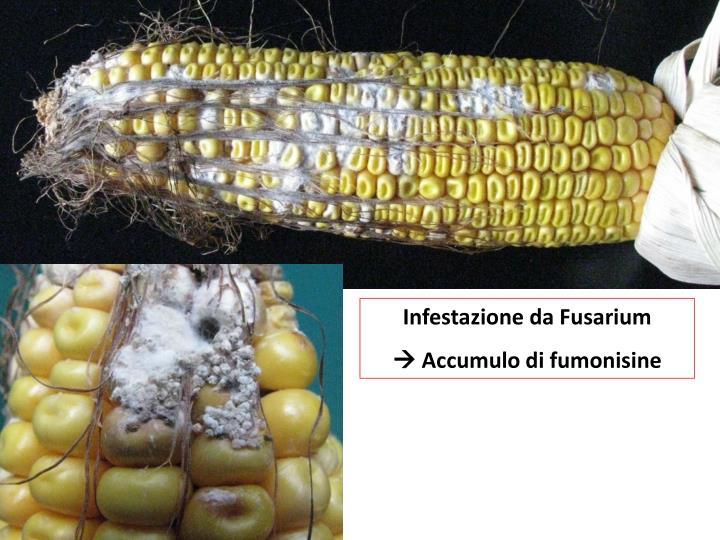 Infestazione da Fusarium
