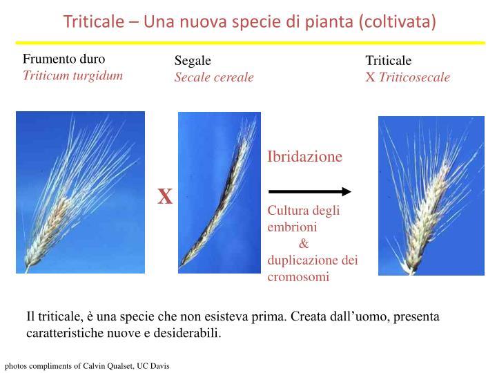 Triticale – Una nuova specie di pianta (coltivata)