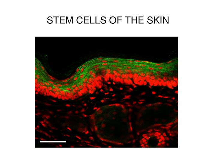 STEM CELLS OF THE SKIN