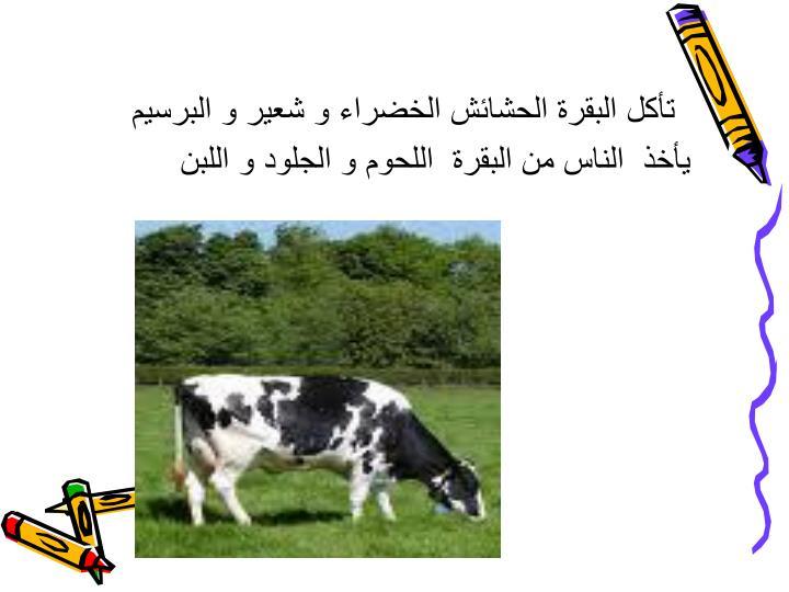 تأكل البقرة الحشائش الخضراء و شعير و البرسيم