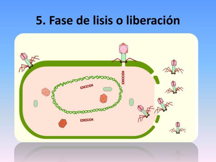 5. Fase de lisis o liberación