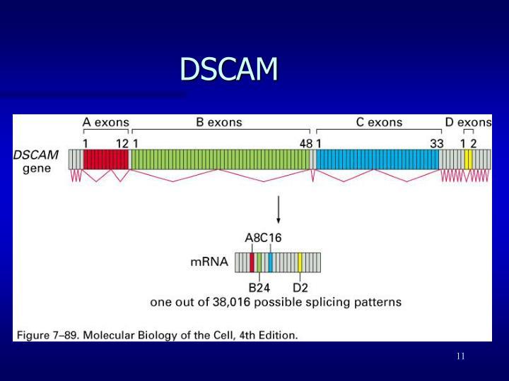 DSCAM