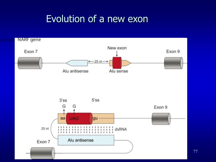 Evolution of a new exon