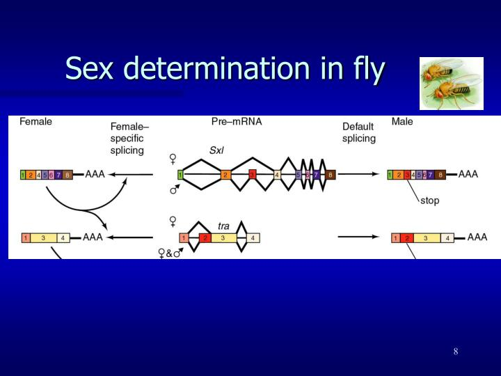 Sex determination in fly