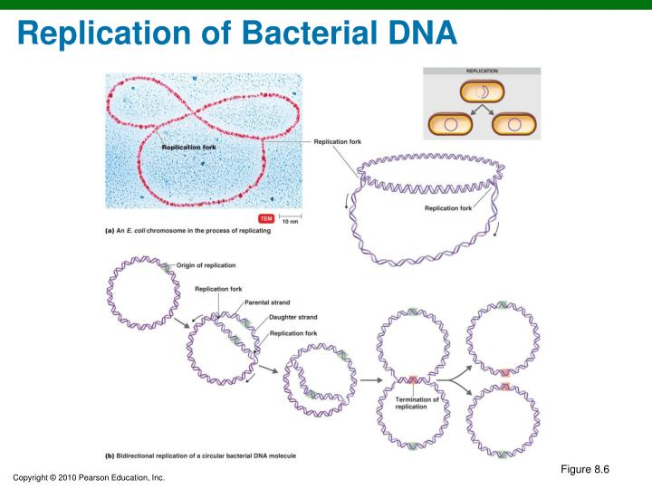 Replication of Bacterial DNA