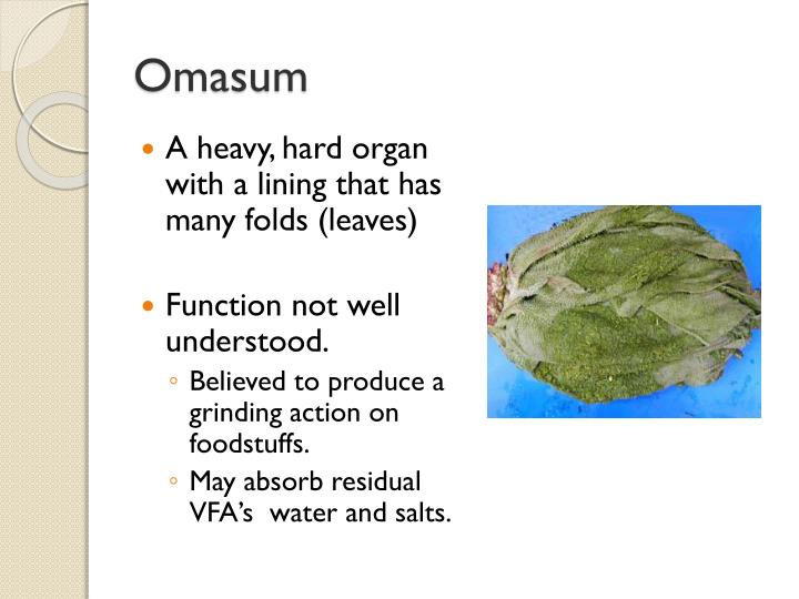 Omasum