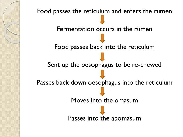 Food passes the reticulum and enters the rumen