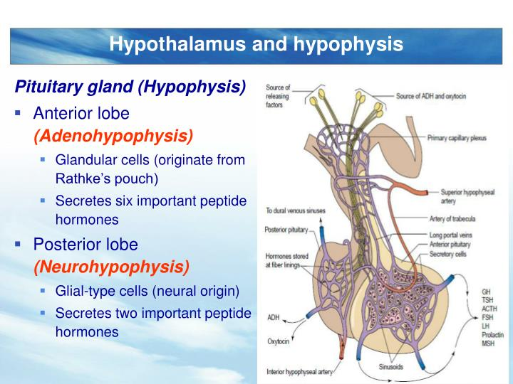 Pituitary gland (Hypophysis)