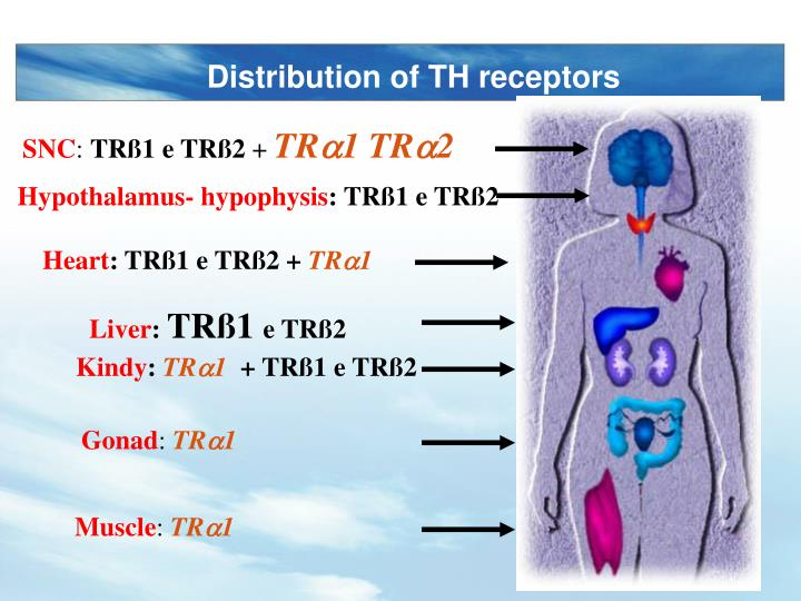 Distribution of TH receptors