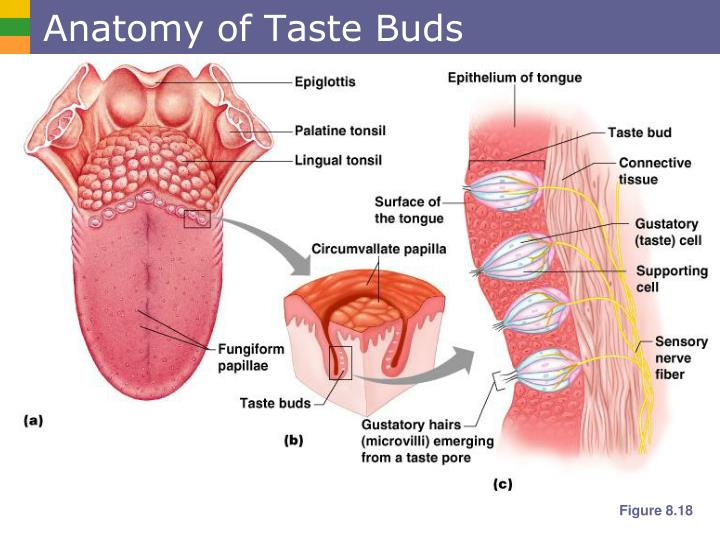 Anatomy of Taste Buds