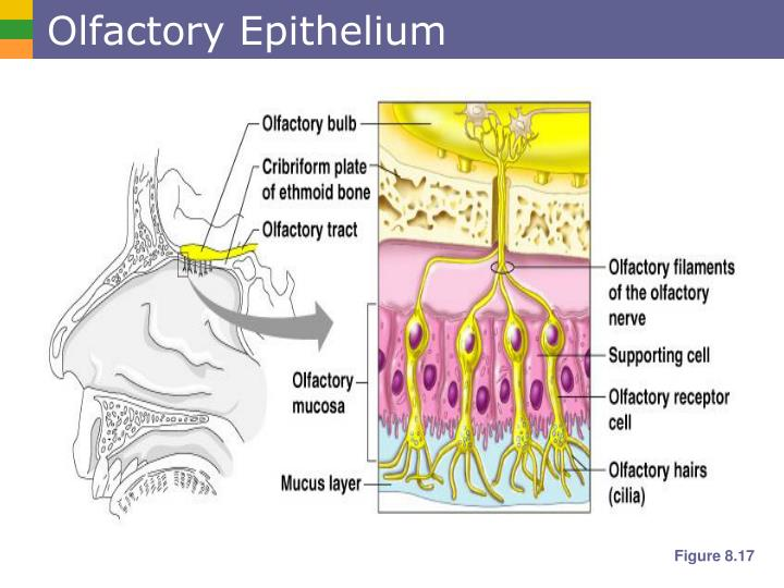 Olfactory Epithelium