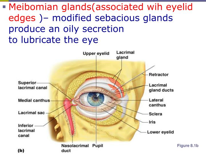 Meibomian glands(associated wih eyelid edges