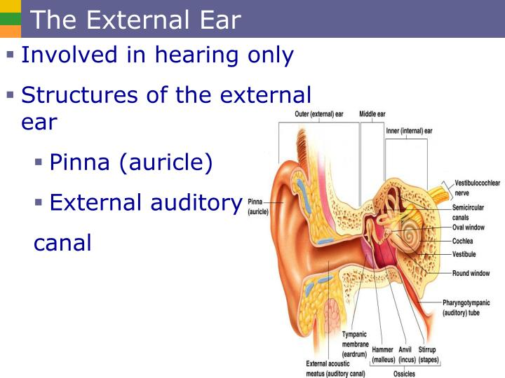 The External Ear